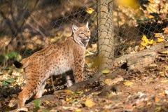 Ritratto di Lynx durante l'autunno Immagini Stock Libere da Diritti