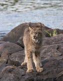Ritratto di Lynx sulle rocce del fiume Immagine Stock
