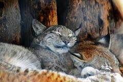 Ritratto di lynx lynx, uno speep di due animali fotografia stock