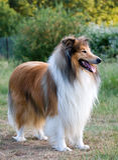Ritratto di massima del cane del Collie Fotografia Stock Libera da Diritti