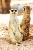 Ritratto di meercat Immagine Stock Libera da Diritti