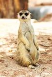 Ritratto di meercat Fotografie Stock Libere da Diritti