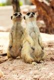 Ritratto di meercat Fotografia Stock