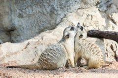 Ritratto di meerkat Fotografia Stock Libera da Diritti