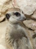 Ritratto di meerkat Immagini Stock Libere da Diritti