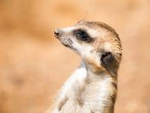 Ritratto di meerkat, aka di suricate - suricatta del Suricata Deserto del Kalahari, Botswana, Africa Fotografia Stock