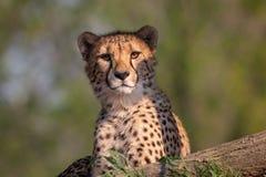 Ritratto di menzogne del ghepardo con fondo vago verde fotografia stock