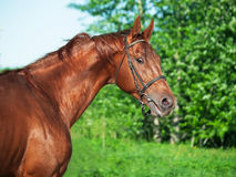 Ritratto di moto dello stallone di Trakehner della castagna Fotografia Stock Libera da Diritti