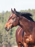 Ritratto di movimento di bello cavallo Immagini Stock Libere da Diritti