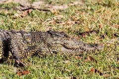 Ritratto di Nile Crocodile Fotografia Stock Libera da Diritti