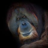 Ritratto di orangutan asiatico molto vecchio su fondo nero Immagini Stock Libere da Diritti