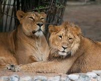 Ritratto di orgoglio dei leoni Fotografia Stock