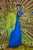 Ritratto di Peacook Fotografie Stock Libere da Diritti