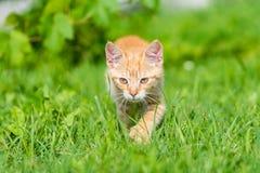 Ritratto di piccola giovane passeggiata del gattino attraverso erba Fotografie Stock