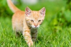 Ritratto di piccola giovane passeggiata rossa del gattino attraverso erba Fotografie Stock Libere da Diritti