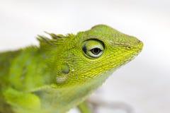 Ritratto di piccola iguana verde nel profilo sull'isola tropicale Bali, Indonesia Fine in su Fotografia Stock