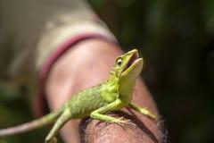 Ritratto di piccola iguana verde su una mano dell'uomo su un'isola tropicale di Bali, Indonesia Primo piano, macro Immagine Stock