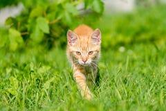Ritratto di piccola passeggiata del gattino attraverso erba Immagini Stock Libere da Diritti