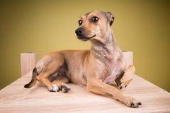 Ritratto di piccolo cane Fotografia Stock Libera da Diritti