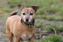 Ritratto di piccolo cane marrone fotografia stock