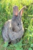 Ritratto di piccolo coniglio sveglio sull'erba verde Immagini Stock Libere da Diritti