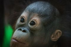 Ritratto di piccolo cucciolo dell'orangutan che guarda con un'espressione sorpresa fotografia stock