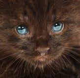 Ritratto di piccolo gattino Immagine Stock