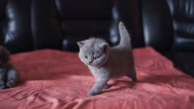 Ritratto di piccolo gattino diritto scozzese più cutiest allegro 4K stock footage
