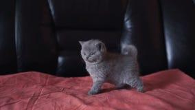 Ritratto di piccolo gattino diritto scozzese più cutiest allegro 4K video d archivio
