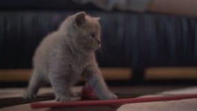 Ritratto di piccolo gattino diritto scozzese più cutiest 4K video d archivio
