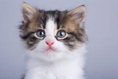 Ritratto di piccolo gattino lanuginoso sveglio con gli occhi azzurri Fotografie Stock