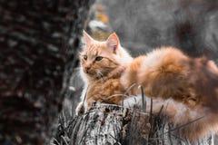 Ritratto di piccolo gatto arancio sveglio che si trova sul tronco di albero all'aperto nel colore selettivo in bianco e nero nel  Fotografia Stock