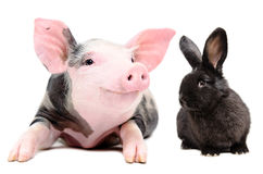 Ritratto di piccolo maiale divertente e di un coniglio nero sveglio Fotografia Stock
