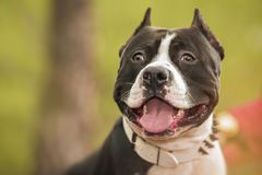 Ritratto di Pit Bull Terrier sulla natura Immagine Stock