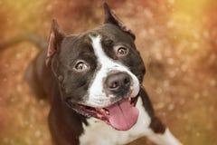 Ritratto di Pit Bull Terrier sulla natura Fotografia Stock Libera da Diritti