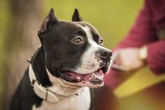 Ritratto di Pit Bull Terrier sulla natura Fotografie Stock Libere da Diritti