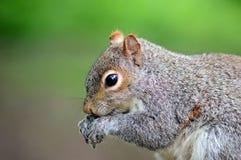 Ritratto di profilo del lato di Grey Squirrel Fotografie Stock