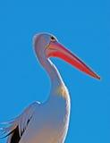 Ritratto di profilo del pellicano immagine stock