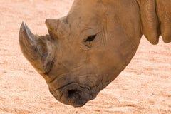 Ritratto di profilo del rinoceronte fotografia stock