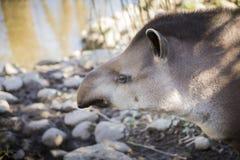 Ritratto di profilo del tapiro di Baird fotografia stock libera da diritti