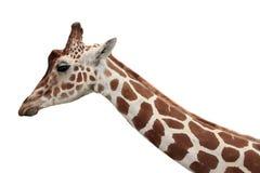 Ritratto di profilo della giraffa Fotografia Stock Libera da Diritti