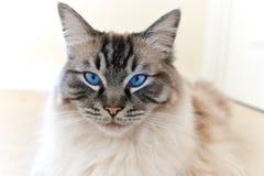 RITRATTO DI RAZZA DEL CAT DI RAGDOLL Fotografie Stock Libere da Diritti