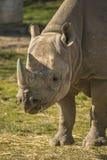 Ritratto di rinoceronte Immagini Stock Libere da Diritti