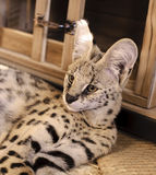 Ritratto di Ripley il bello serval femminile dell'animale domestico che si riposa sguardo verso la macchina fotografica Immagine Stock Libera da Diritti