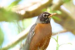 Ritratto di Robin immagine stock