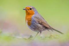 Ritratto di Robin su fondo luminoso immagini stock libere da diritti