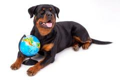 Ritratto di rottweiler con il globo Immagine Stock