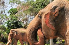 Ritratto di sbattimento femminile dell'orecchio di elefante asiatico fotografia stock libera da diritti
