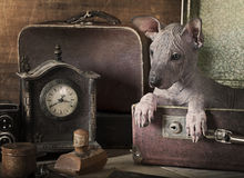 Ritratto di seppia di un cucciolo di xolo Fotografia Stock Libera da Diritti