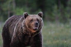 Ritratto di sera dell'orso marrone Fotografia Stock